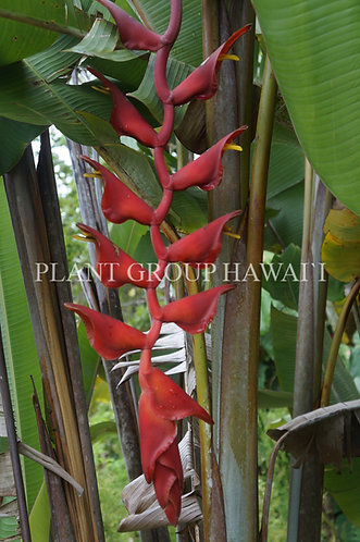 Heliconia longissima 'Red Wings'