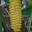 Thumbnail: Calathea crotilifera 'Golden Fleece'