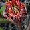 Thumbnail: Etlingera hemispherica 'Black Tulip'