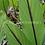Thumbnail: Curcuma sp. 'Big Red'