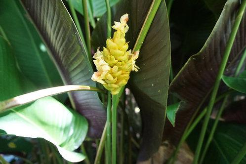 Calathea sp.
