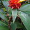 Thumbnail: Costus productus 'Ruby Chalise'