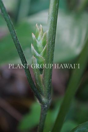 Stromanthe sp. 'Belieze Green'