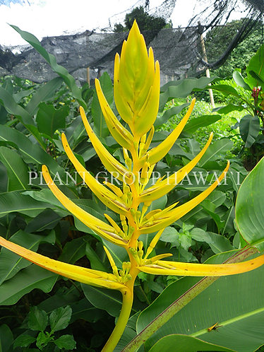 Heliconia lingulata 'Yellow Fan'