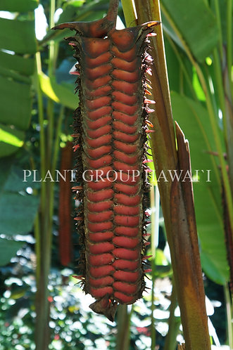 Heliconia mariae 'Beef Steak'