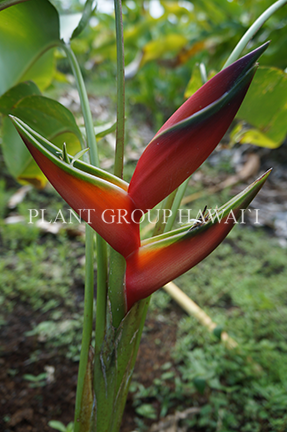 Heliconia bihai 'Lobster Claw'