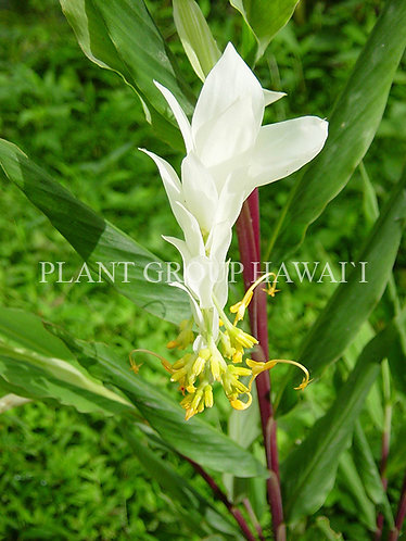 Globba purpurascens 'Sankampang White'