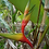Thumbnail: Heliconia bihai 'Nappi'
