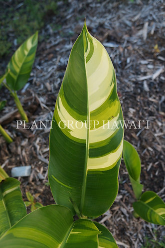 Heliconia psittacorum x marginata 'Variegated Nickeriensis'