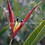 Thumbnail: Heliconia psittacorum 'Lady Di'