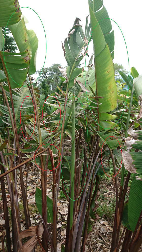 How to Mend your Heliconia from Wind Damage