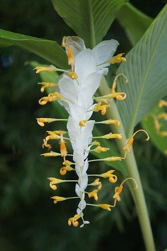 Globba sherwoodiana  'White Dragon'