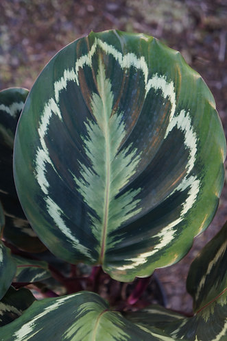 Calathea sp. 'Medallion'