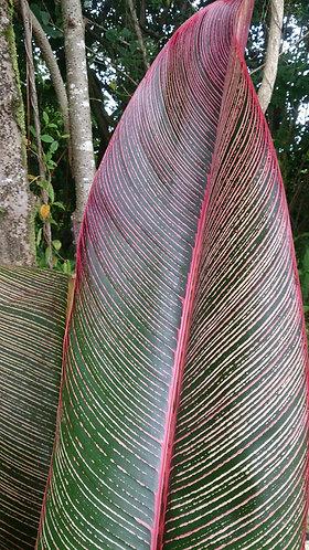 Heliconia indica 'Spectabilis'
