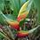 Thumbnail: Heliconia aurea 'Chalko'