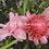 Thumbnail: Etlingera elatior 'Sweet Pink'