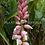 Thumbnail: Alpinia malaccensis 'Giant Pink Shell'