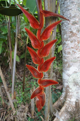 Heliconia vellerigera 'Red Howler'