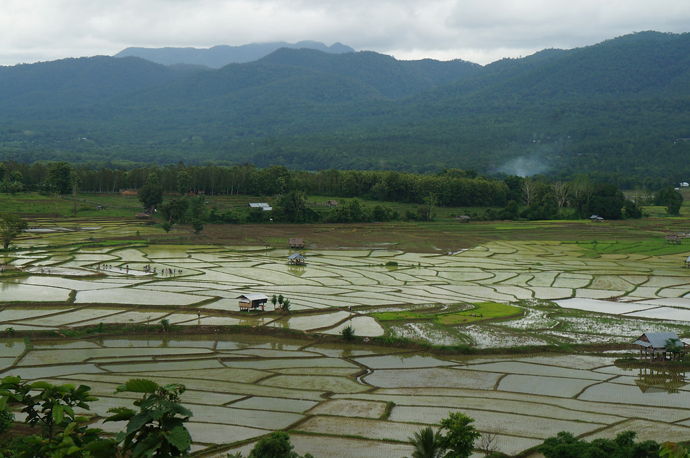 The type localities of Globba laeta have been converted to rice fields