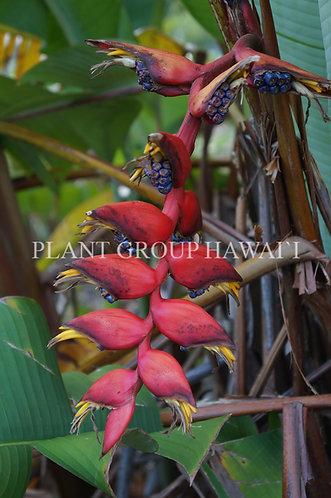 Heliconia curtispatha 'Red Twist'