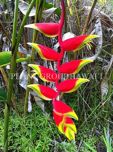 Heliconia rostrata 'Thai Rostrata'