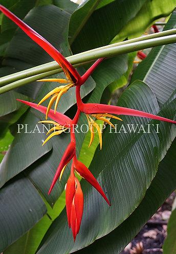 Heliconia latispatha x spissa 'Bali'