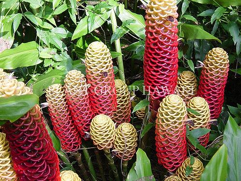 Zingiber spectabile 'Giant Honeycomb'