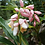 Thumbnail: Alpinia hainanensis 'Pink Perfection'