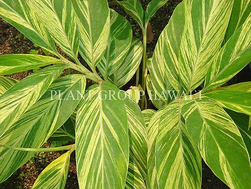 Alpinia zerumbet 'Variegated Shell Ginger'
