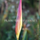 Thumbnail: Heliconia psittacorum 'Cotton Candy'