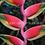 Thumbnail: Heliconia rostrata 'Pink Peru'