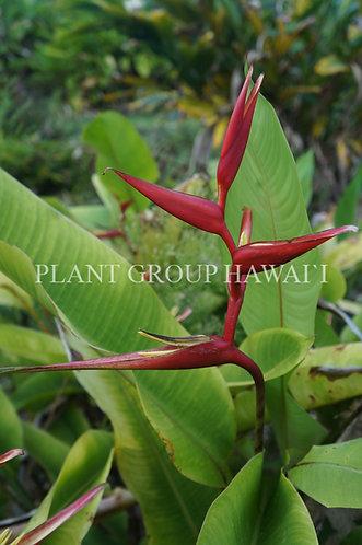 Heliconia farinosa x spathocircinata 'Brazilian Firefly'
