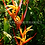 Thumbnail: Heliconia psittacorum 'Kathy'