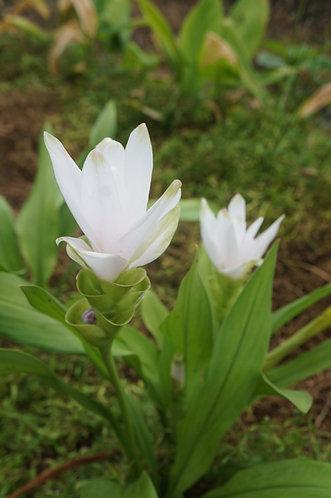 Curcuma alismatifolia 'Snow White'