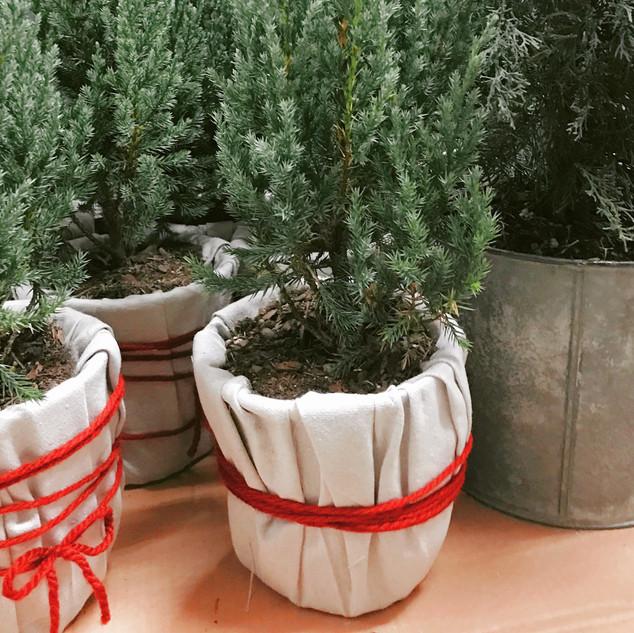 Little Pine Trees