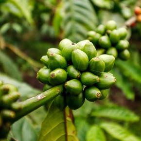 Coffee eans