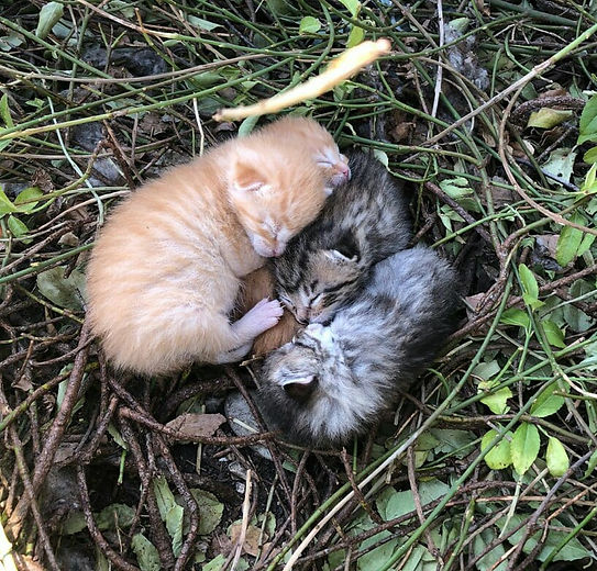 The-vulnerability-of-kittens-born-outsid