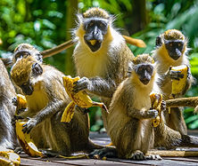 Green-Monkeys-Welchman-Hall-Gully.jpg