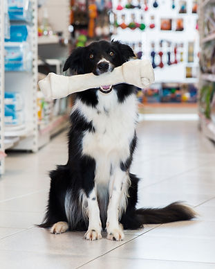 Border Collie with a Bone
