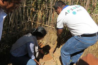 Plantation de pieds de Moringa