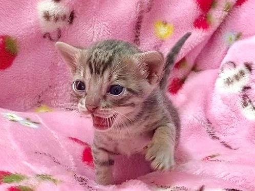 【トイガー】2021年5月25日生まれ ブルーマッカレルタビーの男の子②の複製