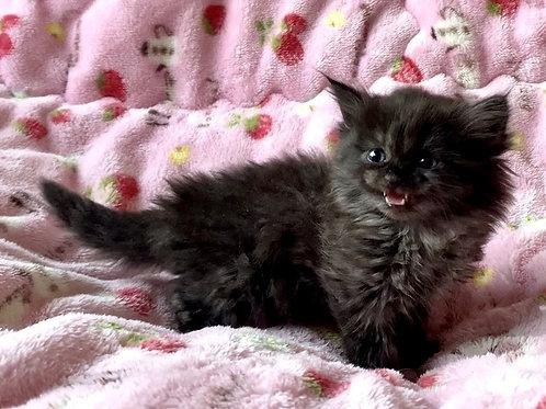 【サイベリアン】2021年1月10日生まれ☆ブラックスモークの女の子