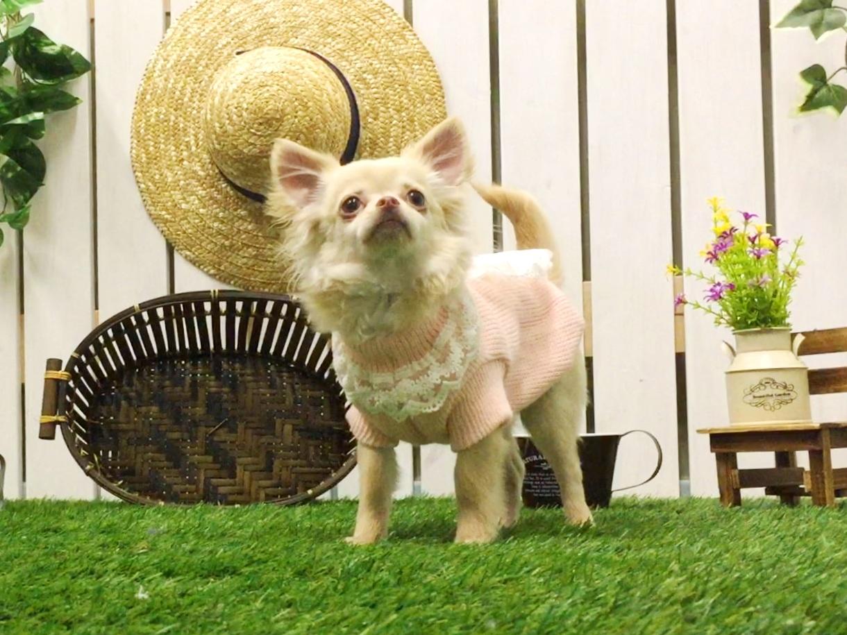 Chihuahua☆チワワ