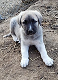 Anatolian Puppy -Fon on belley.jpg