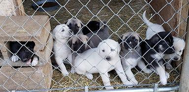 9 Pups behind wire.jpg