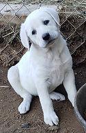 Anatolian Puppy -Tilted Head White.jpg