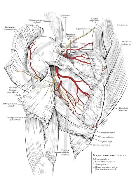 Scapula anastomosis
