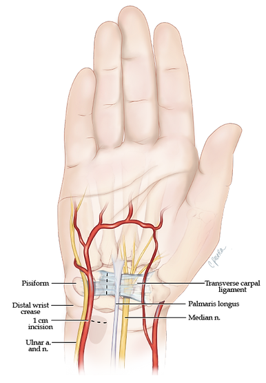 hand anatomy.png
