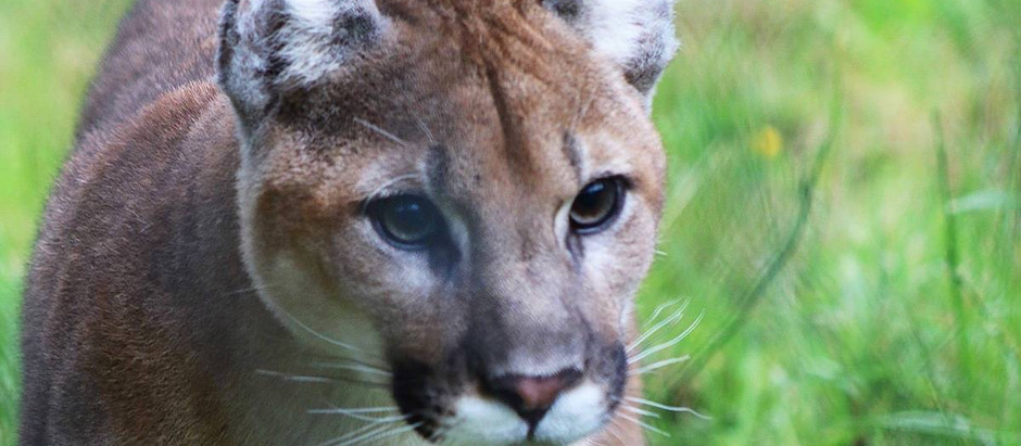 Our Two Cougar Cubs: Beating the Odds and Finding Friendship
