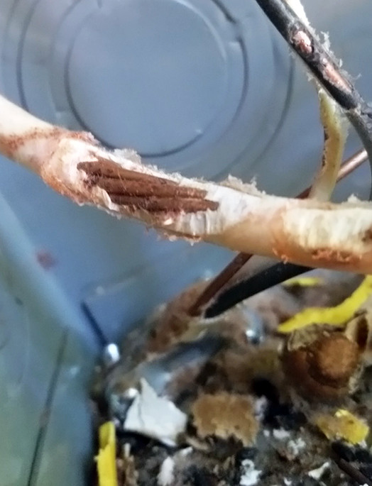 Chewed wires in an electrical panel.